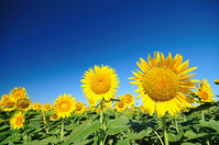 Blue sky and sunflower Stock photo [914606] Sunflower