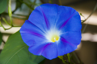Ipomoea tricolor Stock photo [915382] Heavenly