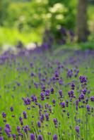 Lavender Stock photo [916634] Flower