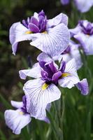 Iris pine needles Weight Stock photo [917333] Japanese