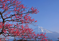 Iwamoto mountain park red plum and Mount Fuji Stock photo [917469] Mt.