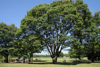 Tree of large zelkova Stock photo [918024] Ohki