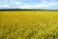 Autumn fields and Tanzawa Mountains Stock photo [919092] Rice
