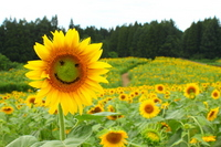 Welcome to the sunflower field Stock photo [919251] Sunflower