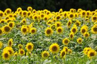 Sunflower field Stock photo [919472] Sunflower