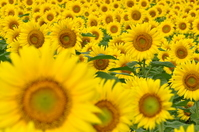 Sunflower Stock photo [921172] Zama
