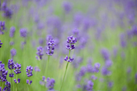 Lavender Stock photo [921548] Purple