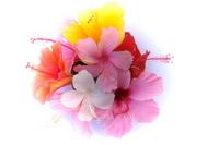 Hibiscus Stock photo [921681] Hibiscus