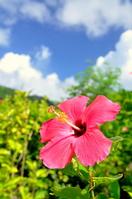 Ishigaki Island Hibiscus Stock photo [922057] Hibiscus
