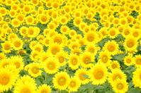 Sunflower field Stock photo [922335] Zama