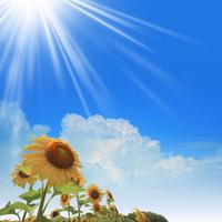 Sunflower Stock photo [922495] Sunflower