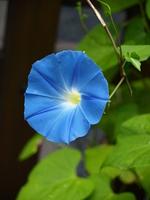 Blue morning glory Stock photo [922615] Morning