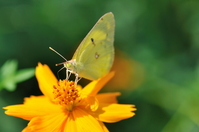 Butterfly, eurema hecabe Stock photo [923251] Butterfly,
