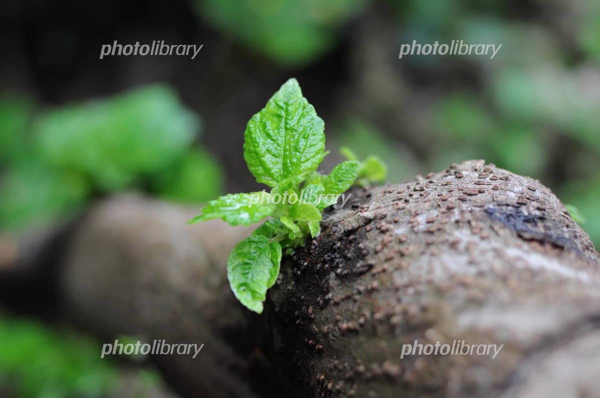 樹木の新芽