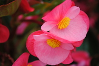 Begonia Stock photo [1014698] Begonia