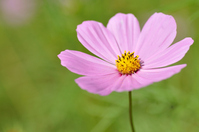 Pink Cosmos Stock photo [1015470] Cosmos