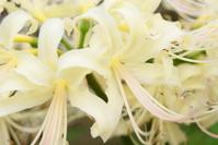 White amaryllis Stock photo [1018658] Amaryllis