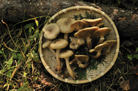 Armillaria mellea Stock photo [1021348] Armillaria