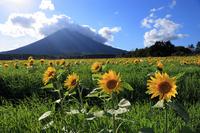 Flower sunflower Stock photo [1022558] Landscape