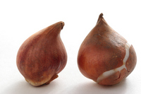 Two of tulip bulbs Stock photo [1129170] Bulb