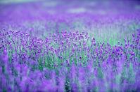 Fields of lavender Stock photo [1129256] Lavender