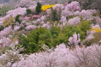 Cherry blossom viewing mountains Stock photo [1135284] Fukushima