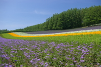 Early summer of lavender fields Stock photo [1136280] Landscape