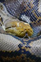 Python reticulatus Stock photo [1139021] Amimenishihihebi