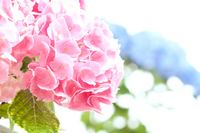 Pastel color of hydrangea Stock photo [1234615] Hydrangea