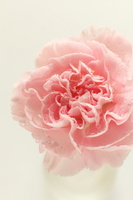 Carnation petals Stock photo [1234989] Flower