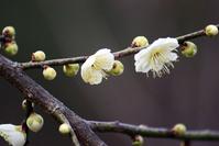 White plum Stock photo [1236227] Natural