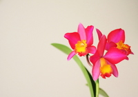 Cattleya Stock photo [1237851] Orchid