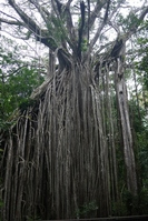 Curtain Fig Tree Stock photo [1238130] Big