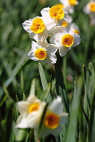 Narcissus of Nada Kuroiwa water Township Stock photo [1239123] Flower