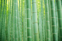 Bamboo forest Stock photo [1241998] Bamboo