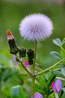 Fluff of Sonchus oleraceus Stock photo [1329004] The