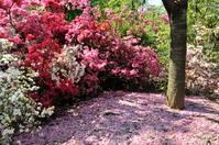 つつじと桜の花びら