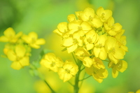 Rape blossoms Stock photo [1329657] Yellow