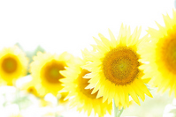 Sunflower Stock photo [1331345] Summer