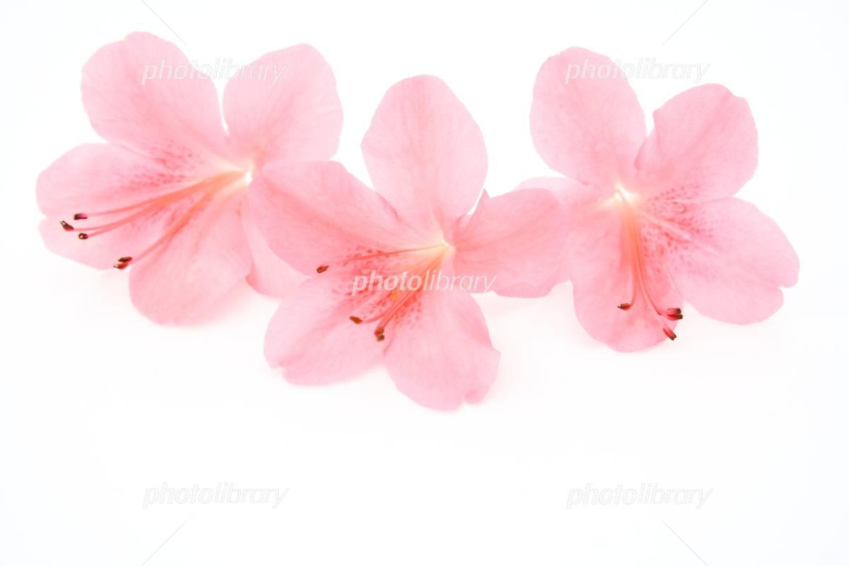 サツキの花 写真素材 1415887 フォトライブラリー Photolibrary