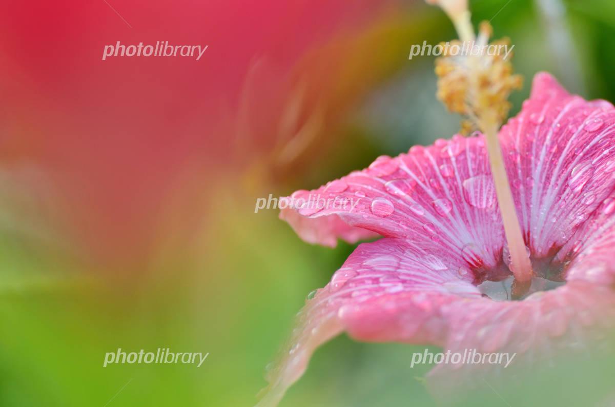 Okinawa image Hibiscus Painted Lady Photo