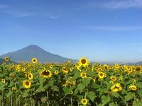 Sunflower and Fuji Stock photo [1410410] Summer