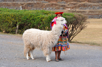 Llama Stock photo [1411503] Peru