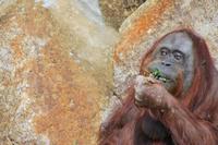 Orangutan in the diet Stock photo [1411564] Orangutan