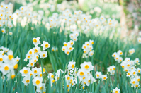 One side of daffodils Stock photo [1411909] Japan