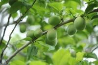 Green plum Stock photo [1414248] Green