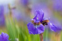 Fresh iris Stock photo [1414456] Ayame