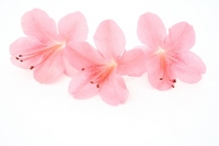 Satsuki Flowers Stock photo [1415887] Satsuki