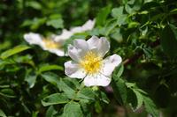Rose-Rosakanina Stock photo [1416428] Rosakanina