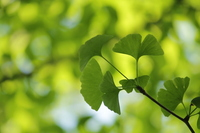 The young leave of the ginkgo Stock photo [1417889] Ginkgo
